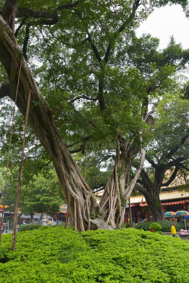 Banyanboom in Guangxiao-Tempel royalty-vrije stock afbeeldingen