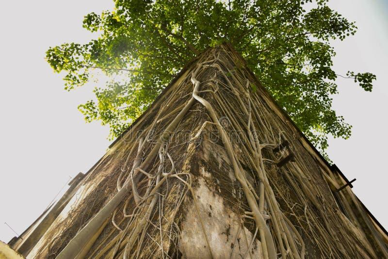 Banyanboom met wortels op het dak van oud schadehuis dat wordt behandeld stock foto