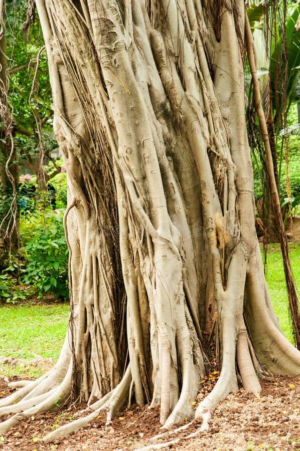 Banyanträd arkivbild