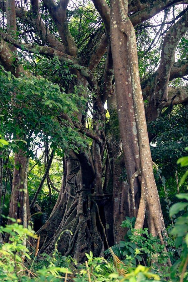 Banyanträd, Da Nang, Vietnam royaltyfri foto