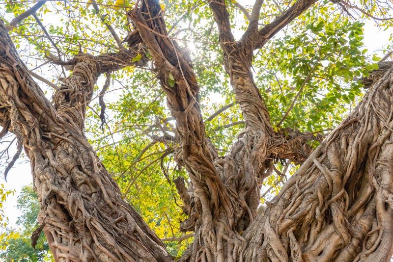Banyanträd, fikusträd i tropisk djungelnatur med sunshines fotografering för bildbyråer