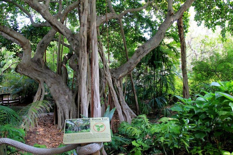 Banyanträd på skärm på denvänskapsmatch djungelön, Miami, 2014 royaltyfri fotografi
