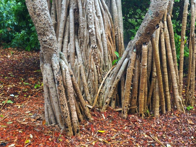 Banyanträd, Sydney Botanical Gardens, Australien fotografering för bildbyråer
