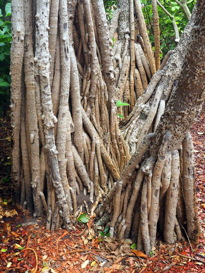 Banyanträd, Sydney Botanical Gardens, Australien arkivbild