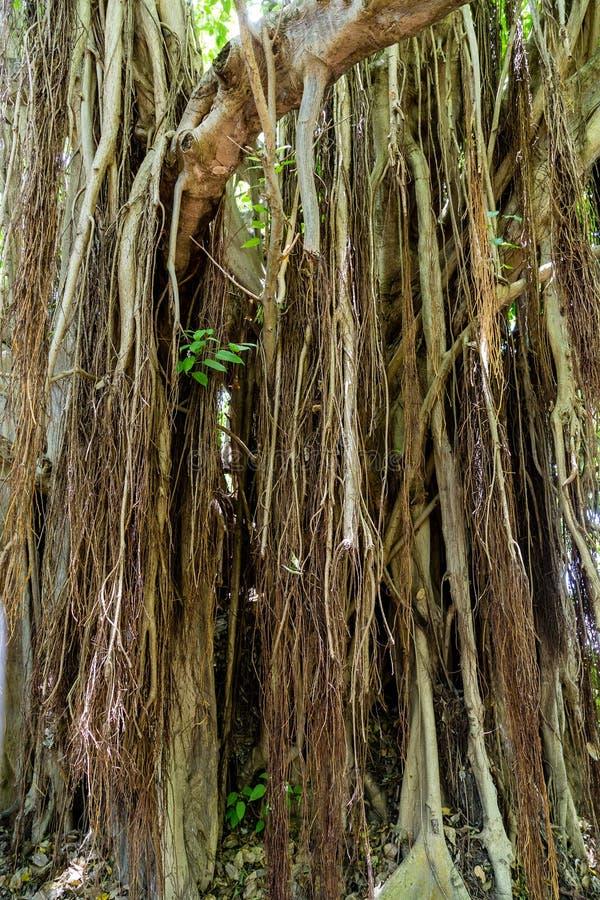 Banyanträdet rotar royaltyfri foto