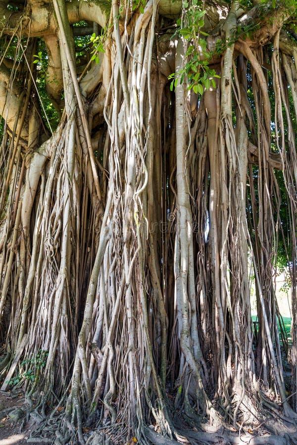 Banyanträdet rotar royaltyfria foton