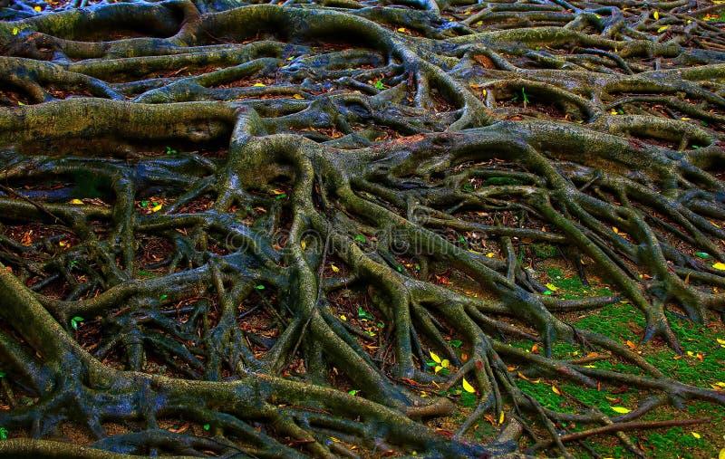 Banyanträdet rotar efter regnet arkivfoton