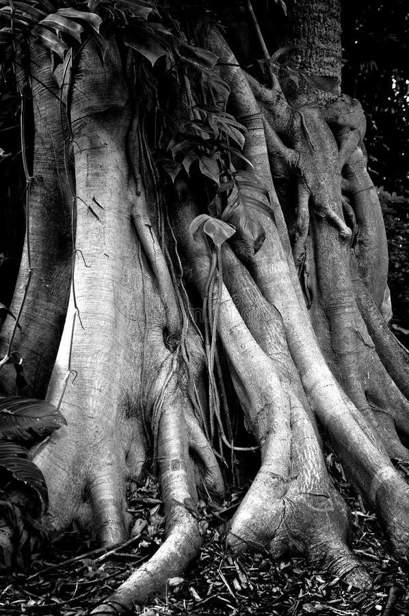 Banyanträdstammen och rotar royaltyfria foton