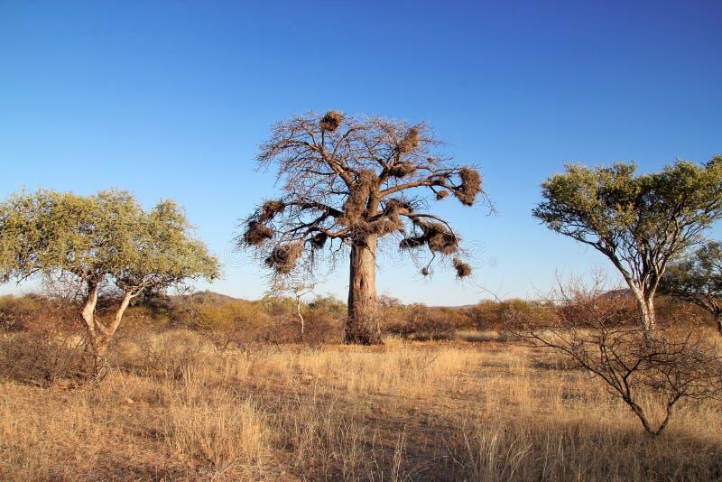 Baoba Baum lizenzfreies stockfoto