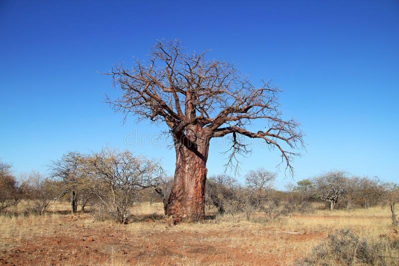 Baoba Baum stockfotos