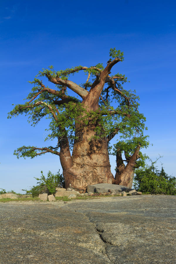 Baoba Baum stockbilder