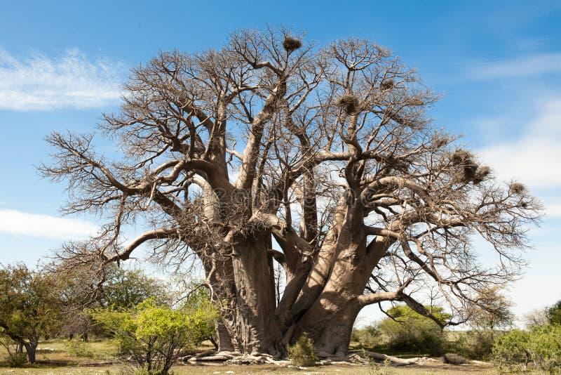 Baobab-Tree in Botswana stock photos