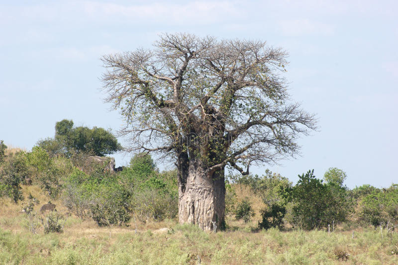 Baoba Tree arkivbilder