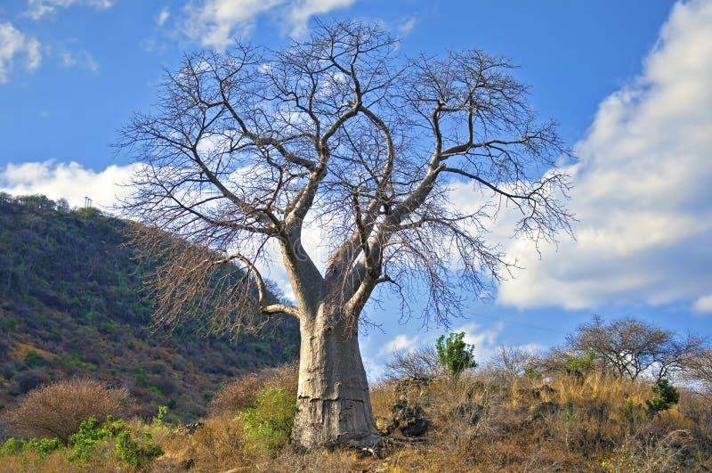 Baoba Tree royaltyfri foto