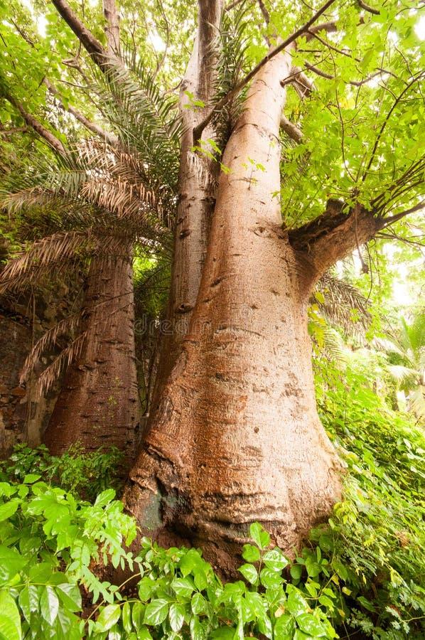 Baobabów drzewa zbliżają wejście Vasai fort obraz royalty free