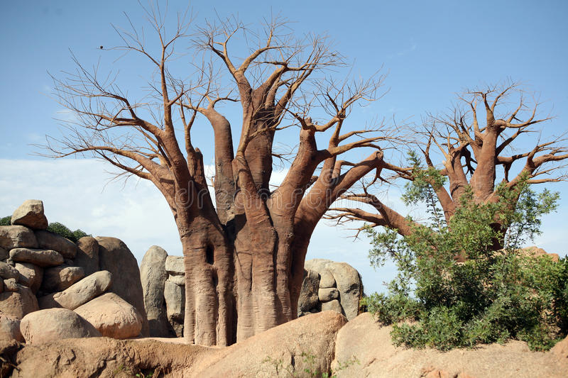 Download Baobab foto de stock. Imagem de savanna, áfrica, arid - 10061270