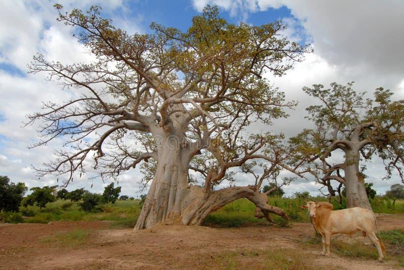 Baobab royalty-vrije stock afbeeldingen