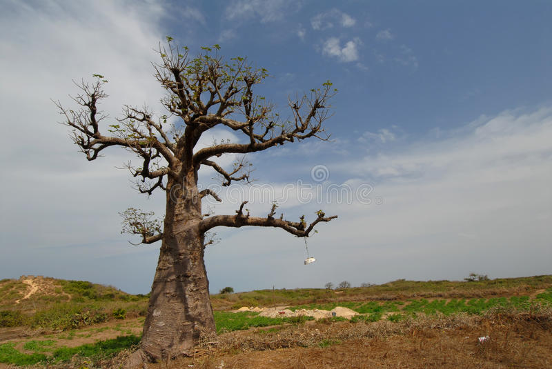 Download Baobab stock photo. Image of plant, africa, secular, giant - 18095114