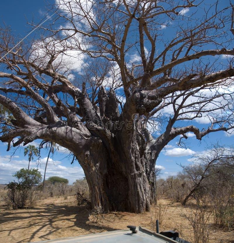 Baobab stock foto's