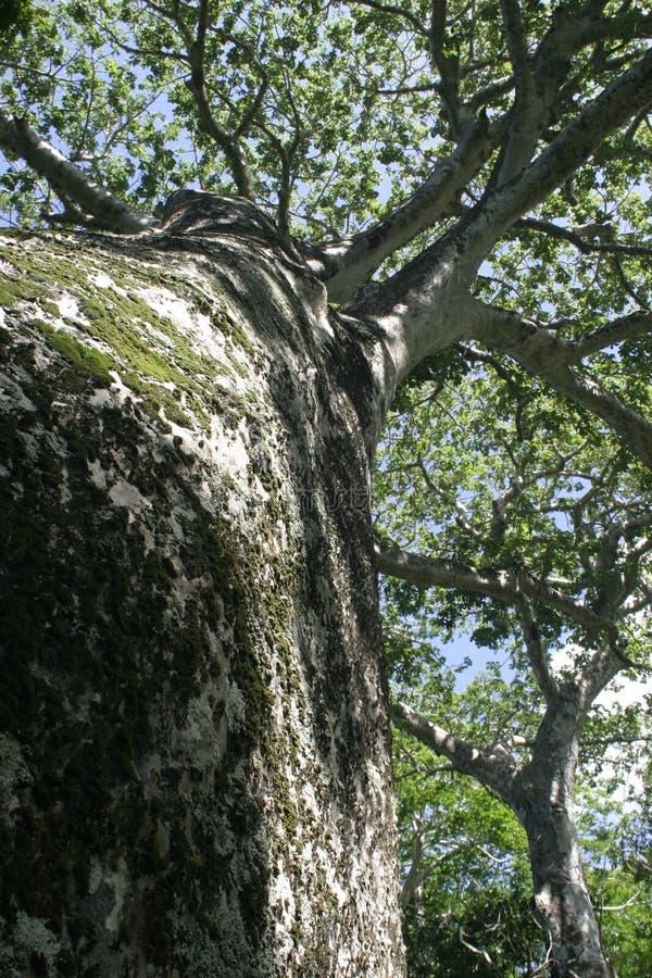 Baobab fotografia de stock royalty free