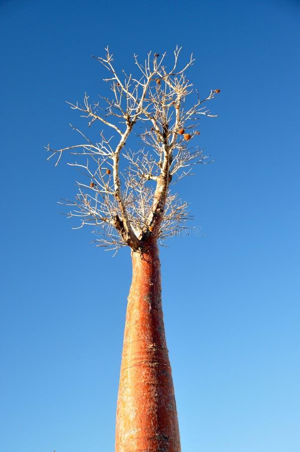 Baobab fotografia de stock
