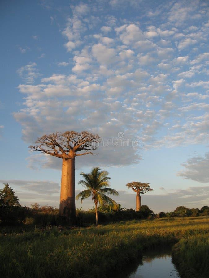 Baobab images libres de droits