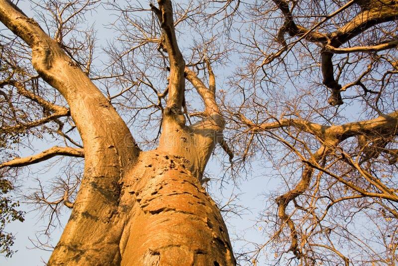 Baobab royalty free stock photo