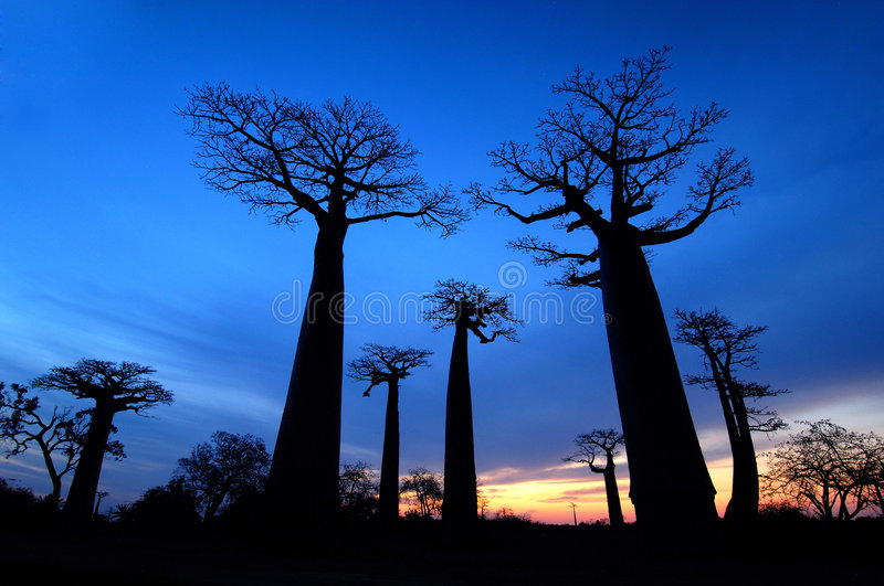 Baobab fotos de stock royalty free