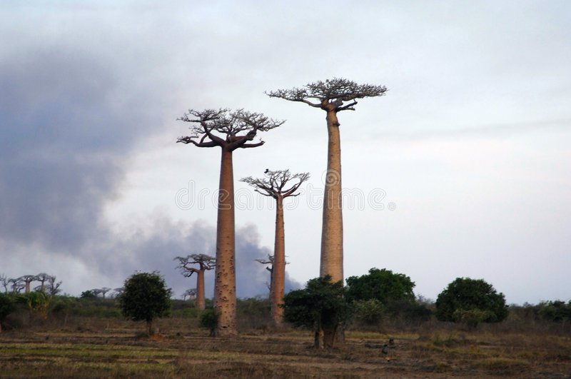 Baobab fotos de stock