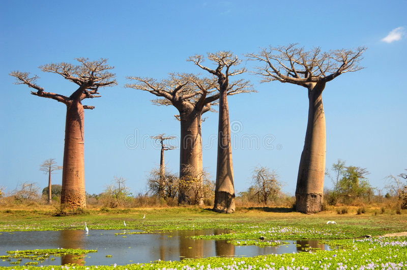 Baobab imagen de archivo libre de regalías