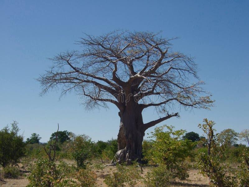 Download Baobab Stock Photography - Image: 5859552