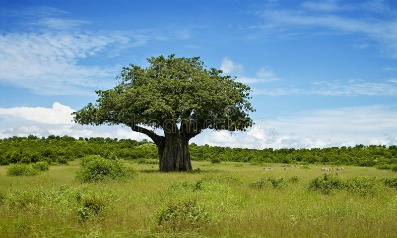 Download Baobab stock photo. Image of cloudy, landscape, grass - 8035642