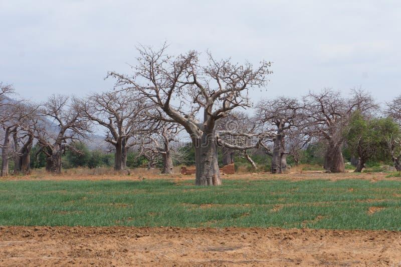 baobab lizenzfreie stockfotografie