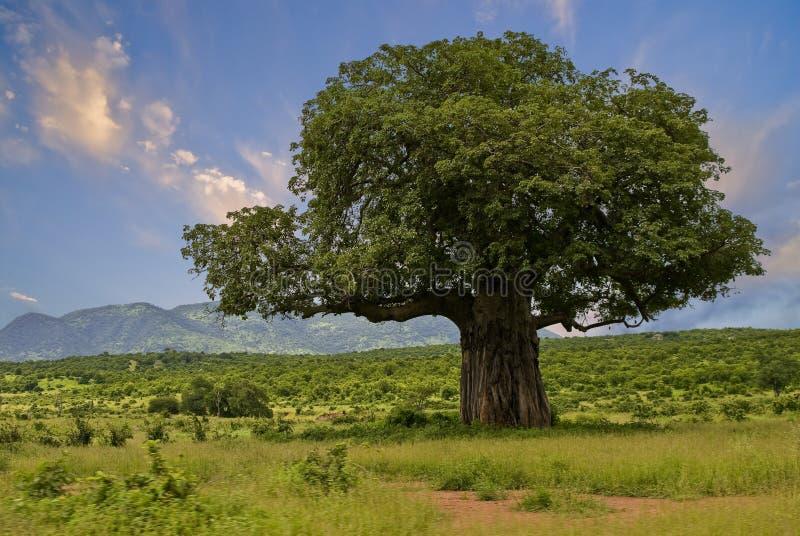 Baobab imagem de stock royalty free