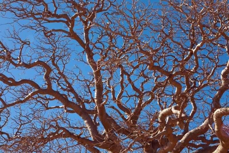 Baobab africain photos stock