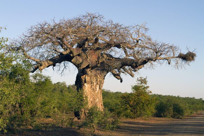 Baobab africano gigante con la jerarquía del buitre imagen de archivo libre de regalías