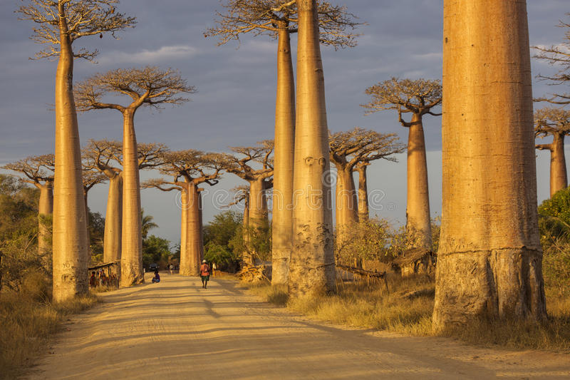 Baobab Alley in Madagascar, Africa. Beautiful and colourful land royalty free stock photography