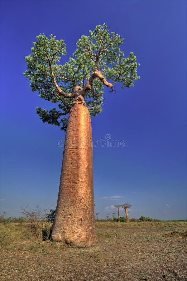 baobab ampuła fotografia stock