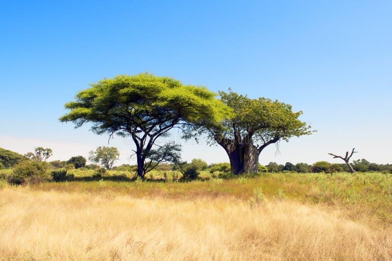 Baobab-Baum und Akazie in Botswana lizenzfreie stockbilder