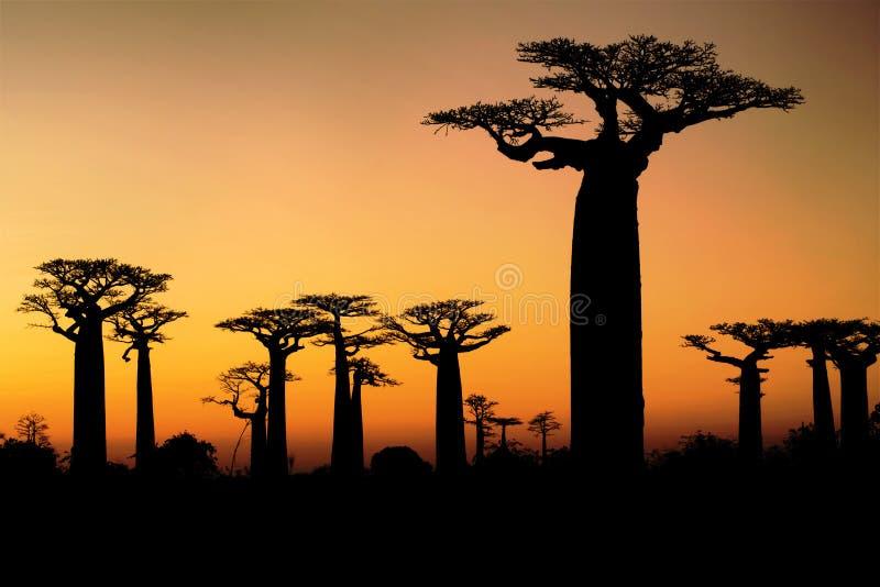 Baobab bij zonsondergang royalty-vrije stock foto