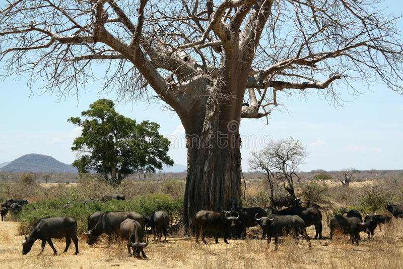 Baobab Buffaloes royalty free stock photography