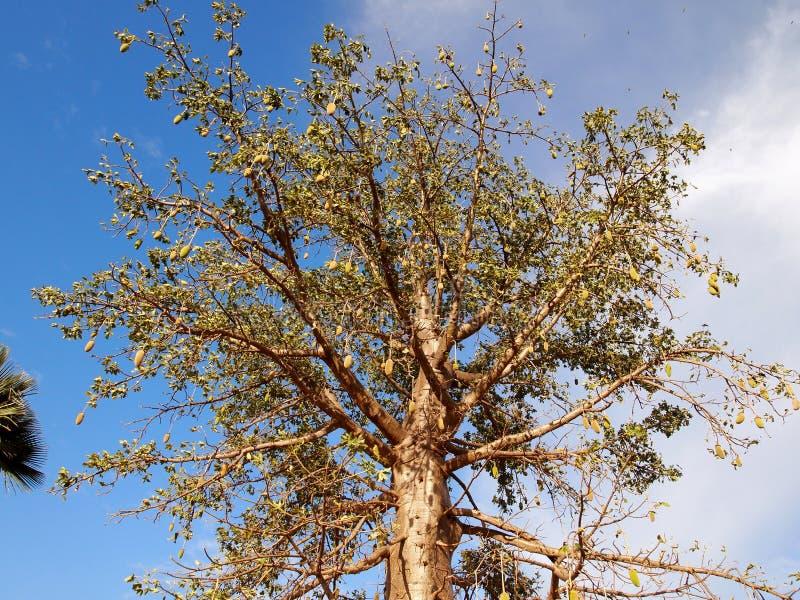 Baobab com frutos fotografia de stock