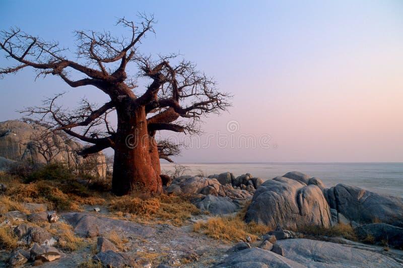 Baobab da solo immagini stock