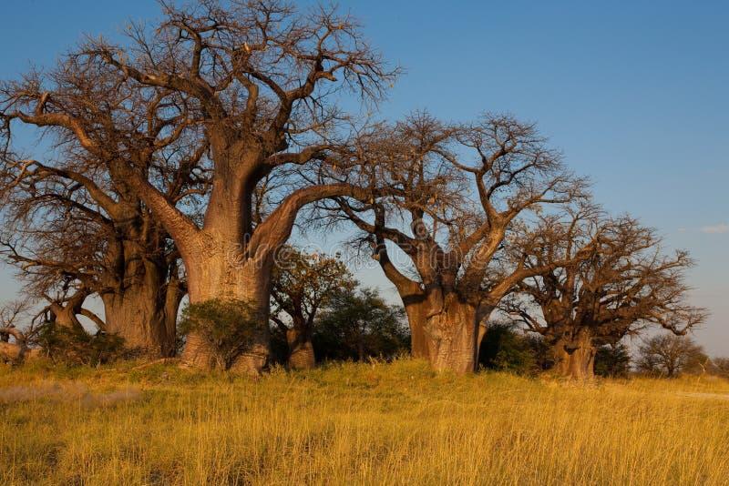 Baobab de Baines de Nxai Pan National Park - Botswana foto de stock royalty free