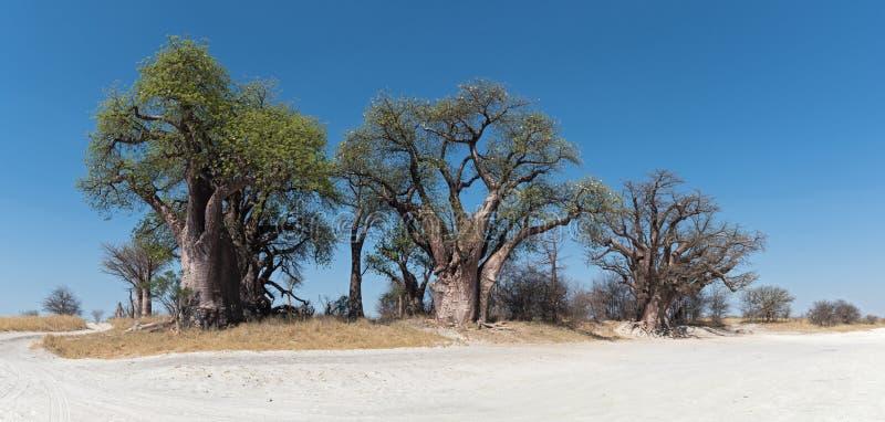 Baobab di Baines da Nxai Pan National Park, Botswana immagini stock libere da diritti