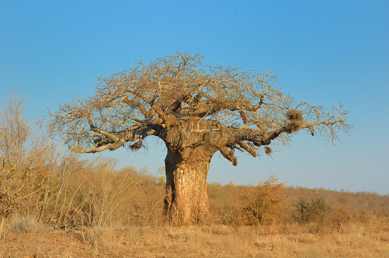 Baobab (digitata Adansonia) royalty-vrije stock afbeelding