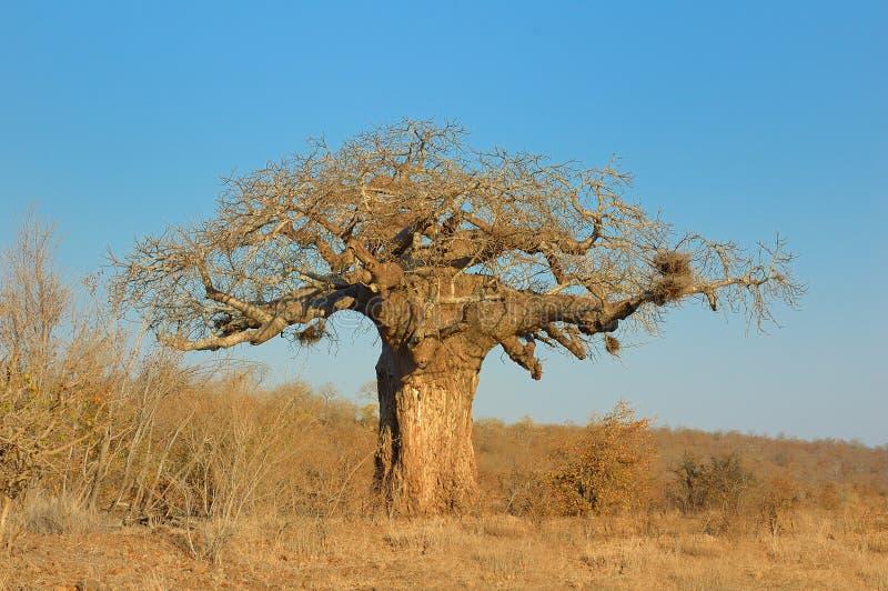 Baobab (digitata del Adansonia) imagen de archivo libre de regalías