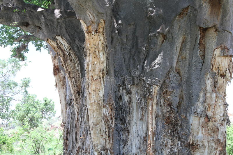 Baobab, digitata do Adansonia no parque nacional de Mapungubwe, Limpopo foto de stock royalty free