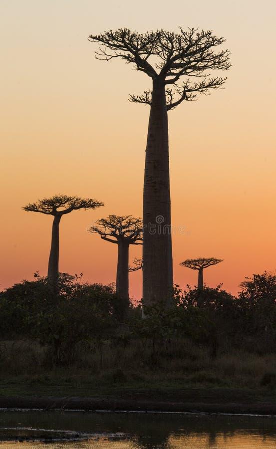 Baobab en el amanecer madagascar fotos de archivo