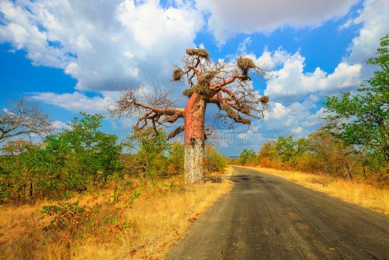 Baobab en Musina imagen de archivo